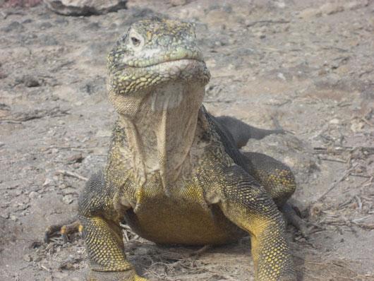 Legally Iguana